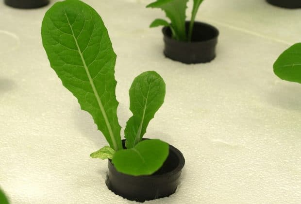 plantes vertes en culture hydroponique