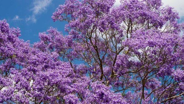 Arbres à fleurs : liste des arbres qui possèdent les plus belles floraisons