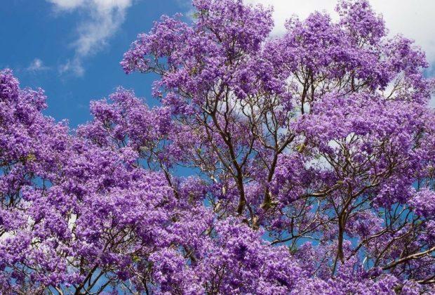 arbre a fleurs violettes