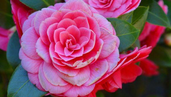 Arbres à fleur : les plus belles floraisons rose du printemps