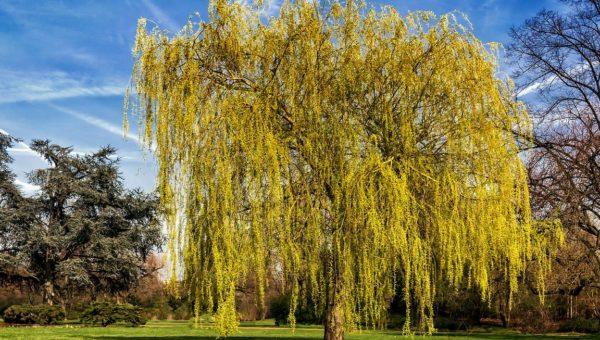 Saule pleureur : entretien, arrosage, plantation, durée de vie…notre dossier complet sur cet arbre