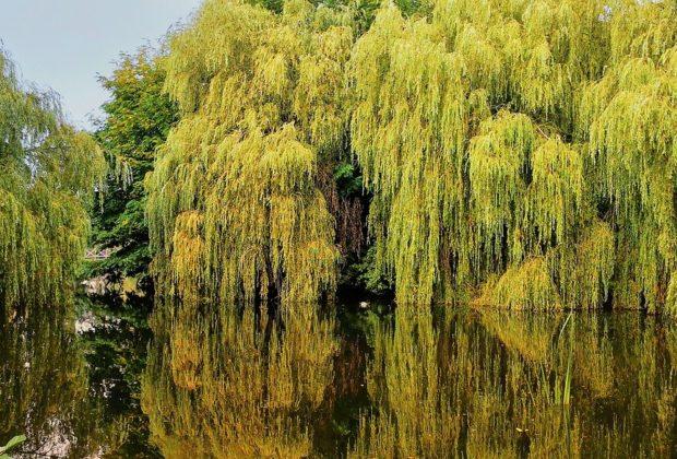 saules pleureurs en bord de lac
