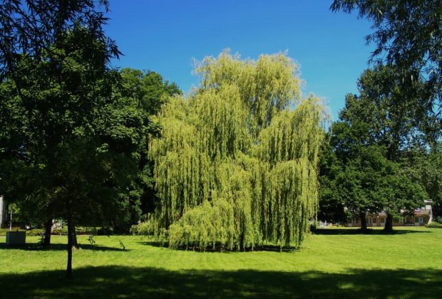 saule pleureur majestueux dans un parc