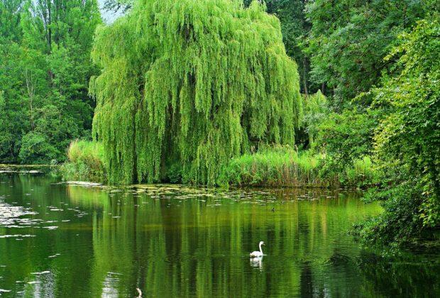 saule pleureur proche dun lac