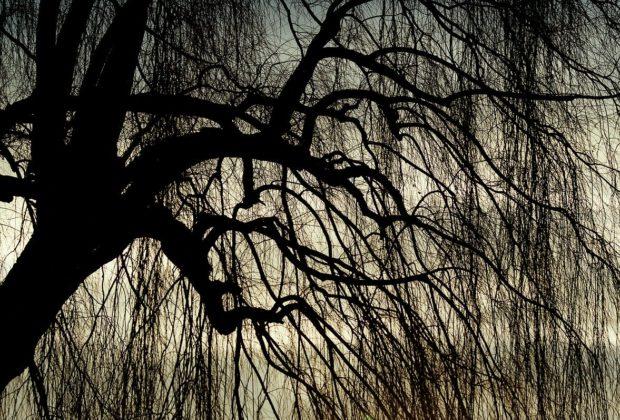 saule pleureur automne sans feuilles