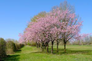 arbre à fleur rose
