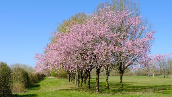 Arbre à fleur rose : liste de tous les arbres qui ont une floraison rose