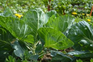 jardin bio avec légumes bien développés