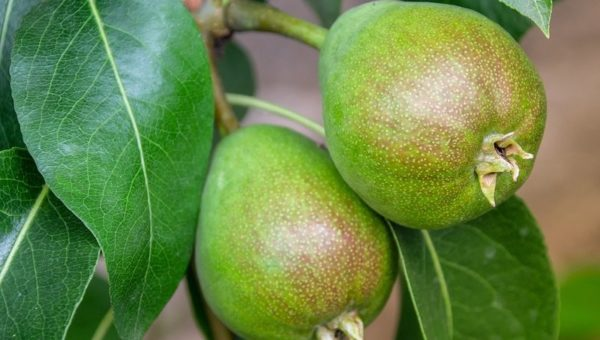 Arbres fruitiers nains : plantation, entretien, avantages…